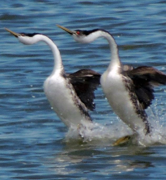 Western Grebes Dancing
