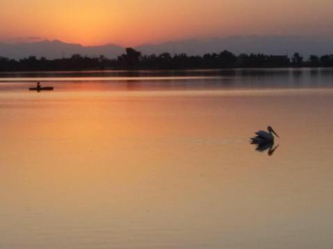 American White Pelican on the Lake at Sunset