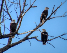 Three Bald Eagles Perched on a Tree at Barr Lake State Park