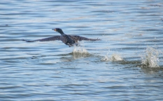 Double-crested Cormorant Taking Off