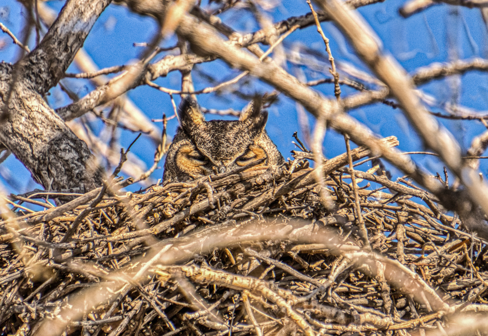 Great Horned Owl at Barr Lake State Park