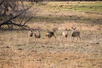 Mule Deer enjoying the warm weather