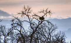 Mom and Pop Bald Eagles making sure the babies are fed