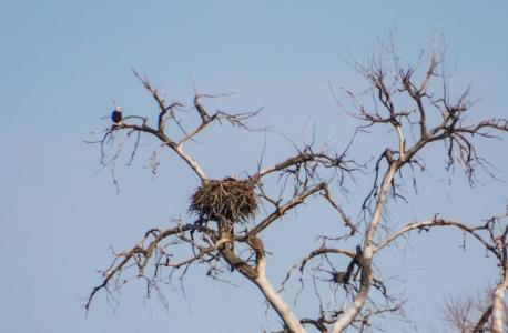 Bald Eagles guarding their nest