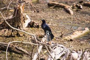 Male Great-tailed Grackle