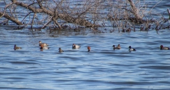 Redheads and Lesser Scaups