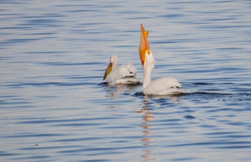 American White Pelican swallowing a huge fish