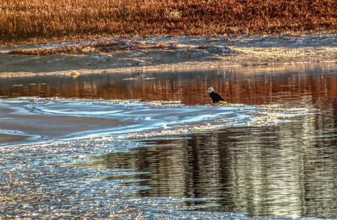 Bald Eagle Sitting on the Ice, Looking for a Meal