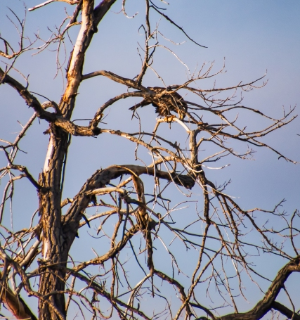 Juvenile Bald Eagle Eating in a Tree