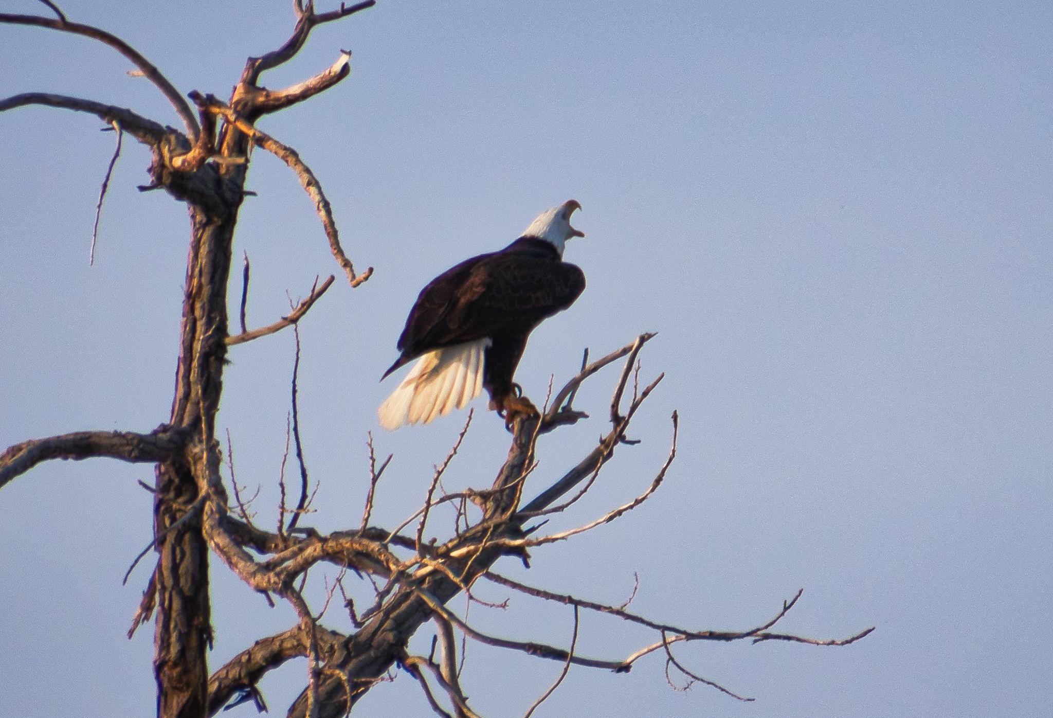 Adult Bald Eagle Screeching
