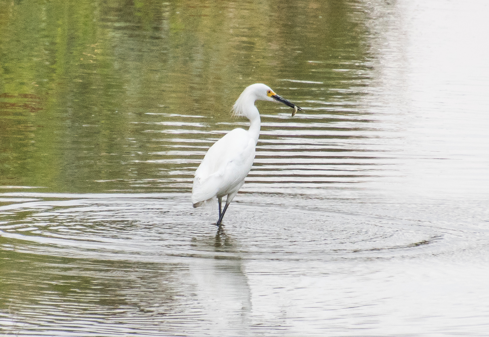 Snowy Egret with its catch