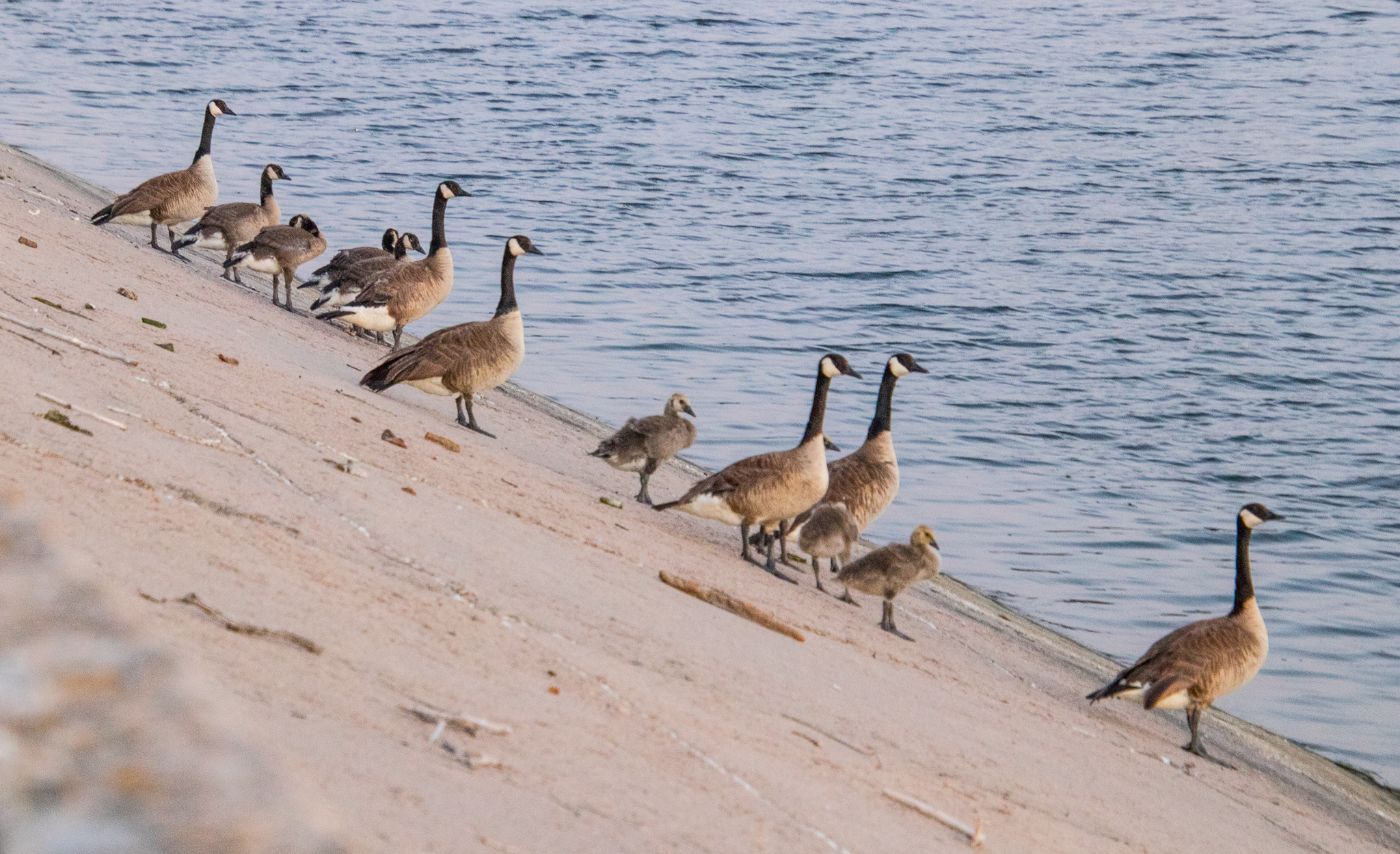 Geese standing on the side of the Oasis Dam