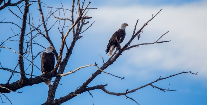 Two Bald Eagles Sittin' in a Tree