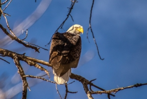 Bald Eagle Looking Agry