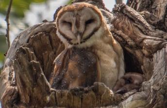 Barn Owl with Owlet Peeking on the Side