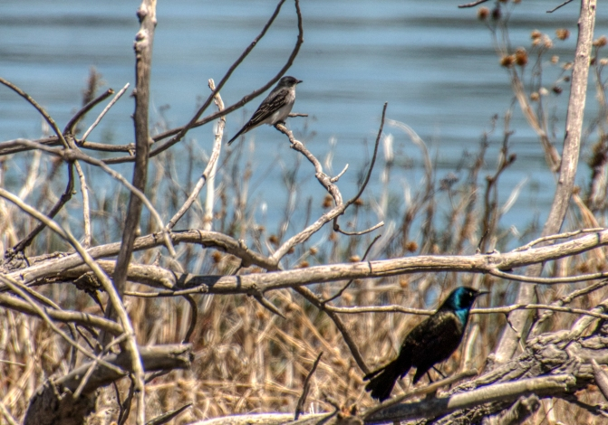 Eastern Kingbird and Common Grackle