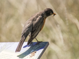 American Robin with a feast
