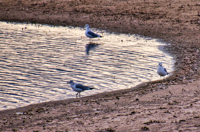 Gulls at Barr Lake Edge