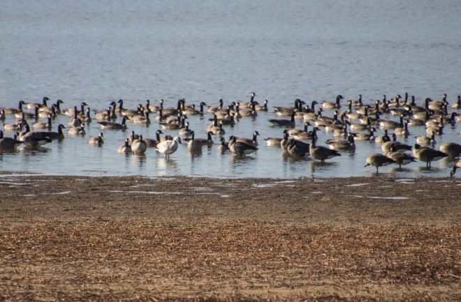 Snow Goose Among the Canada and Cackling Geese