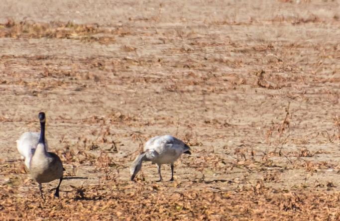 Canada and Immature Snow Geese