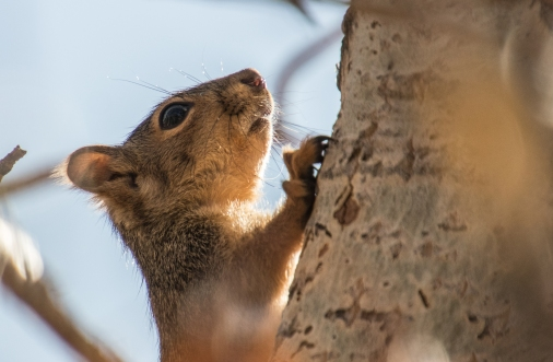 Little Red Squirrel
