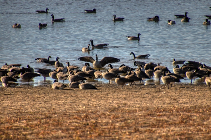 Geese are Back