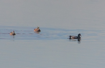 American Wigeons and Female Mallard
