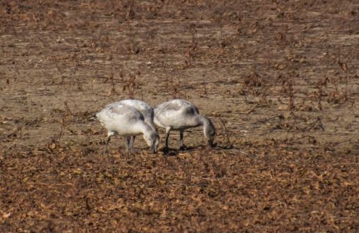 Immature Snow Geese