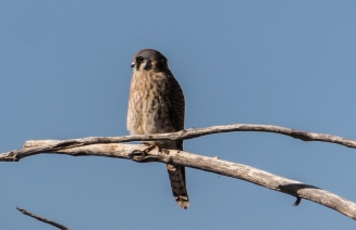 American Kestrel Puffed up Against the Cold
