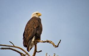 Very Cooperative Bald Eagle Posing for Photos
