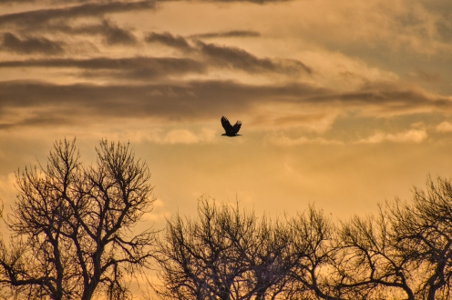 Bald Eagle Flying at Sunset