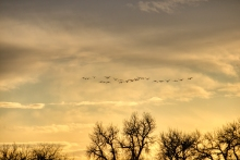 Flock of Geese Flying at Sunset